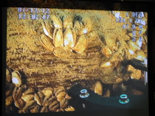 Quagga collection with ROV